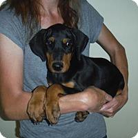 Doberman Pinscher Puppy for adoption in Manchester, New Hampshire - Dixie