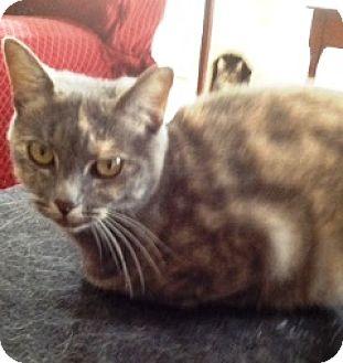 Calico Cat for adoption in Orange, California - Stephanie
