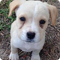Adopt A Pet :: Andy - Leesville, SC