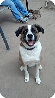 St. Bernard Mix Dog for adoption in Wichita, Kansas - Bennie
