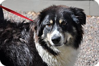 Australian Shepherd Dog for adoption in Elk River, Minnesota - Diamond