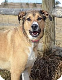 Labrador Retriever/Boxer Mix Dog for adoption in Cheyenne, Wyoming - Layla