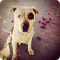Adopt A Pet :: BROGAN - Encino, CA