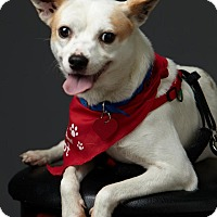 Adopt A Pet :: Piper Cub - Santa Monica, CA