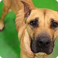 Adopt A Pet :: Honey - Phoenxville, PA