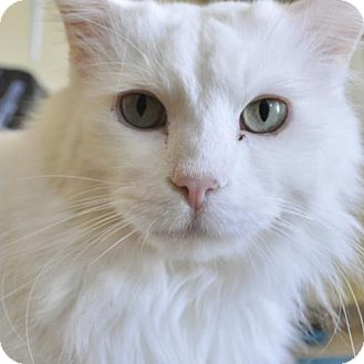 Domestic Longhair Cat for adoption in Van Nuys, California - Blizzard