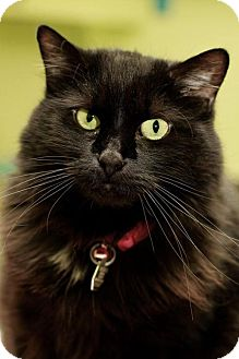 Domestic Longhair Cat for adoption in Evergreen, Colorado - Tink