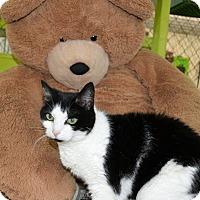 Domestic Shorthair Cat for adoption in East Smithfield, Pennsylvania - Fruitcake