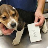Adopt A Pet :: Han - Dumfries, VA