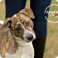Adopt A Pet :: Piper - Pearland, TX