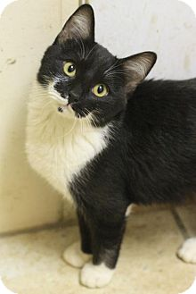 Domestic Shorthair Kitten for adoption in Hammond, Louisiana - Oreo