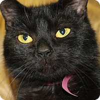 Domestic Shorthair Cat for adoption in Clayton, New Jersey - LEIA
