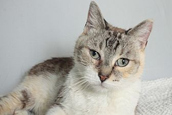 American Shorthair Cat for adoption in Los Angeles, California - Sabrina