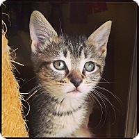 Domestic Shorthair Kitten for adoption in Nashville, Tennessee - Indy