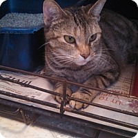 American Shorthair Cat for adoption in Corinth, New York - Halle