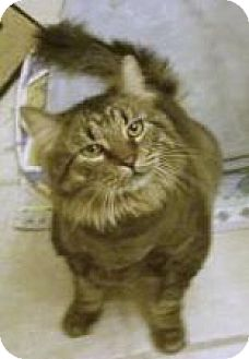 Maine Coon Cat for adoption in Las Vegas, Nevada - Chubbs