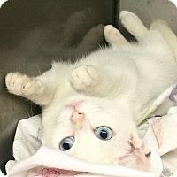 Adopt A Pet :: Harmony - Bayside, NY