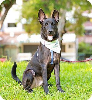Labrador Retriever/Shepherd (Unknown Type) Mix Puppy for adoption in Castro Valley, California - Booth