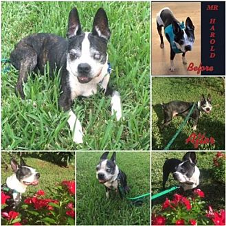 Boston Terrier Dog for adoption in Various Cities in the entire Southeast, Tennessee - Mr Harold FL
