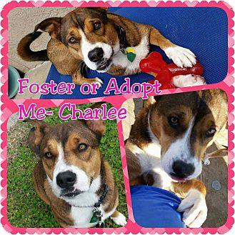 German Shepherd Dog Mix Dog for adoption in Wichita, Kansas - Charlee