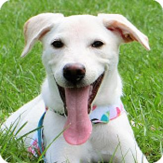 Labrador Retriever Mix Dog for adoption in San Francisco, California - Laila