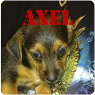 Yorkie, Yorkshire Terrier/Chihuahua Mix Puppy for adoption in Spring, Texas - Axel
