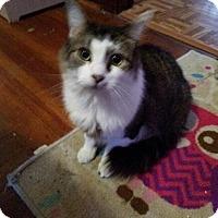 Maine Coon Cat for adoption in Acushnet, Massachusetts - Baby