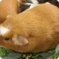 Adopt A Pet :: Pumpkin & Spice - South Bend, IN