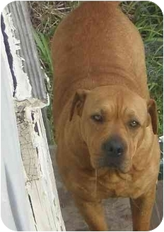 Shar Pei/American Pit Bull Terrier Mix Dog for adoption in Wylie, Texas - Muppy Puppy