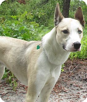Husky/Greyhound Mix Dog for adoption in Forked River, New Jersey - Kei