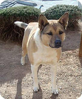 Shepherd (Unknown Type) Mix Dog for adoption in Las Vegas, Nevada - Alannah