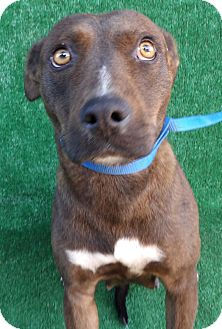 Boxer Mix Dog for adoption in San Diego, California - Brinley