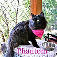 Adopt A Pet :: Phantom - Hamilton, MT