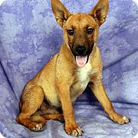 Adopt A Pet :: Ranger Shepherd - St. Louis, MO