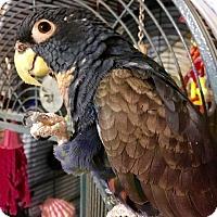 Adopt A Pet :: Mukki - Los Angeles, CA