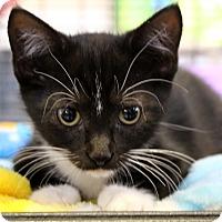Adopt A Pet :: Black Pearl - Sarasota, FL