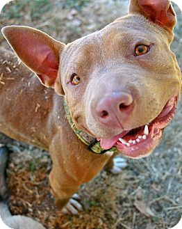 American Pit Bull Terrier Mix Dog for adoption in Oakland, California - Snorkles!