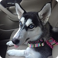 Siberian Husky Puppy for adoption in Sugar Land, Texas - Summer