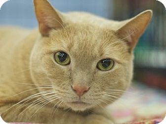 Domestic Shorthair Cat for adoption in Great Falls, Montana - Muffaso