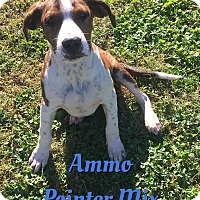 Adopt A Pet :: Ammo - Cheney, KS