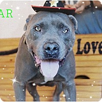 American Pit Bull Terrier/Cane Corso Mix Dog for adoption in Kingwood, Texas - Bear**Courtesy Post**