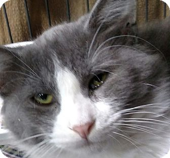 Domestic Shorthair Cat for adoption in Yuba City, California - Cory aka Tuesday