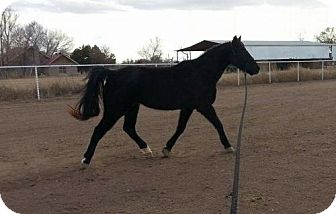 Quarterhorse/Grade Mix for adoption in Peralta, New Mexico - **SHETAN