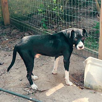 Border Collie/Labrador Retriever Mix Dog for adoption in Houston, Texas - Snoop