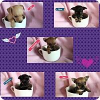 Adopt A Pet :: Princess Pups - Victorville, CA