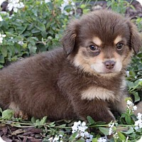 Tibetan Spaniel Mix Puppy for adoption in Las Vegas, Nevada - Claus: Sleigh Belle