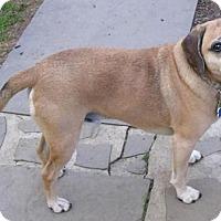 Pug/Beagle Mix Dog for adoption in Rowayton, Connecticut - Soco