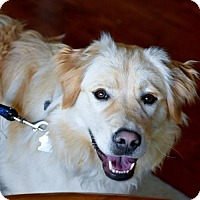 Golden Retriever Mix Dog for adoption in Grafton, Wisconsin - Moses aka John