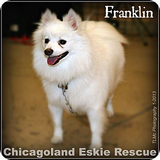 American Eskimo Dog Dog for adoption in Elmhurst, Illinois - Franklin