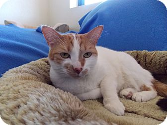 Domestic Shorthair Cat for adoption in Fountain Hills, Arizona - AUDREY